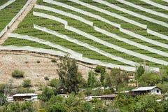Виноградник весны в Чили Стоковые Фотографии RF