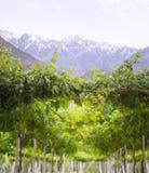 Виноградник весны, пустыня Atacama в зоне Coquimbo, Чили Стоковые Изображения RF