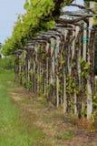 Виноградник вина lambrusco Стоковые Фотографии RF