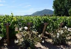 Виноградник винодельни Viu Manent Стоковые Фотографии RF