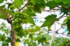 Виноградник, винодельня, виноградина, зеленая Стоковые Изображения RF