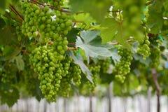 Виноградник, винодельня, виноградина, зеленая Стоковые Фото