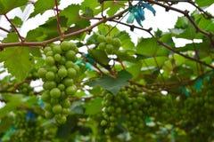 Виноградник, винодельня, виноградина, зеленая Стоковое фото RF