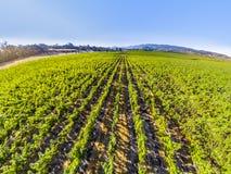 виноградник вида с воздуха Стоковое Изображение RF