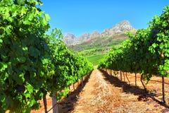 Виноградник в горах стоковое фото