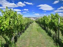 Виноградник в лете Стоковое Фото
