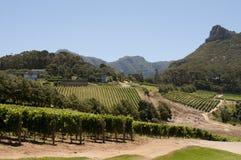 Виноградник в западной накидке Южной Африке Стоковое Фото