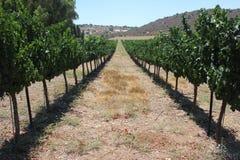 Виноградник в израильской пустыне стоковое фото