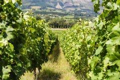 Виноградник в Кейптауне Стоковые Изображения