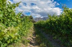 Виноградник в Кейптауне Стоковое Изображение