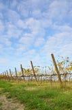 Виноградник в осени Стоковые Изображения