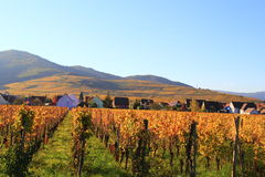 Виноградник в осени Стоковая Фотография