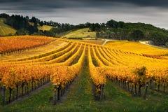 Виноградник в осени Стоковая Фотография RF
