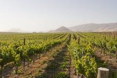 Виноградник в долине Эдны стоковое фото