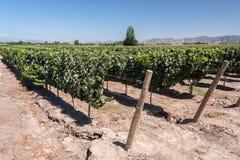 Виноградник в долине чилеански Colchagua Стоковое Изображение