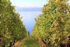 Виноградник вдоль озера, Швейцарии Стоковые Фотографии RF