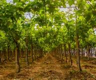 Виноградник в сельской местности Апулии Стоковое Изображение