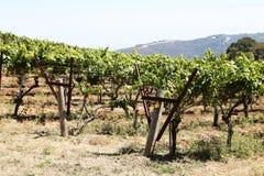 Виноградник в сельской местности Стоковое фото RF