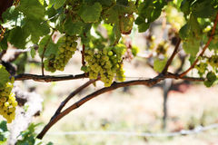 Виноградник в сельской местности Стоковое Изображение