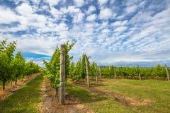 Виноградник в Тасмании Стоковые Изображения RF