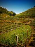 Виноградник в южном Тироле Стоковые Изображения RF