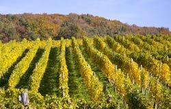 Виноградник в autum Стоковая Фотография RF