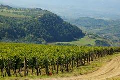 Виноградник в Chianti, области Тосканы стоковая фотография rf