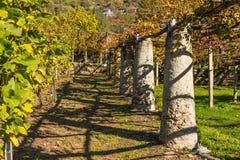 Виноградник в d'Aosta Valle, Италии Стоковая Фотография RF