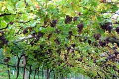 Виноградник в Lana, Италии Стоковое Фото