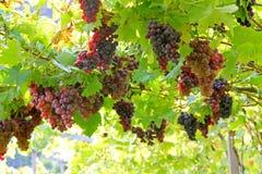 Виноградник в Lana, Италии Стоковая Фотография RF
