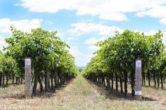 Виноградник в Mudgee, Австралии Стоковая Фотография RF