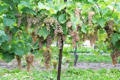Виноградник в Niagara-на--озере, Онтарио, Канаде Стоковое фото RF