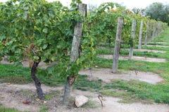 Виноградник в Niagara-на--озере, Онтарио, Канаде Стоковые Фото