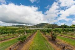 Виноградник в NSW, Австралия Стоковые Фотографии RF