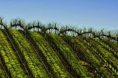 Виноградник в Tapihue Стоковое Изображение