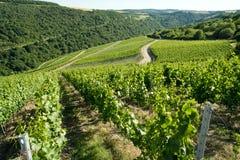 Виноградник горного склона Стоковое фото RF