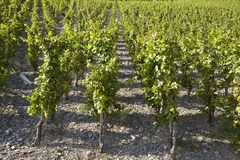 Виноградник - запасы лозы Стоковое фото RF