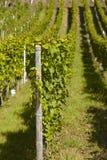 Виноградник - запасы лозы Стоковые Фотографии RF