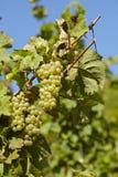 Виноградник - запасы лозы Стоковое Фото