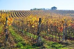 Виноградник засаженный с Barbera в итальянском Oltrepo Pavese стоковые изображения