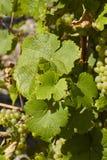 Виноградник - листья лозы Стоковые Изображения