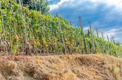 виноградник Италии Стоковые Изображения