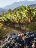 Виноградник и винодельня в сельском районе стоковое изображение