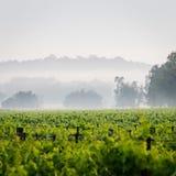 Виноградник и туман Стоковая Фотография