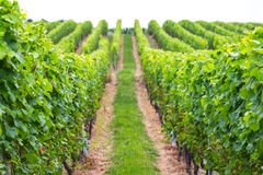 Виноградник как частично запачканная предпосылка Стоковые Фотографии RF