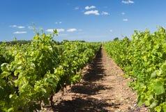 виноградник ландшафта Стоковое Фото