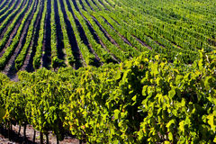 виноградник места Стоковая Фотография RF