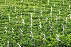 Виноградник, минимальная практика землепашества Стоковые Изображения