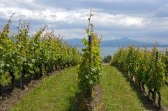 Виноградник на женевском озере, Швейцарии стоковое изображение rf