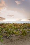Виноградник на заходе солнца Стоковая Фотография